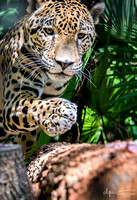 Singes/Jaguars/Monkeys - Belize Zoo
