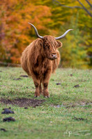 Bovins Highland Cattle - Sutton